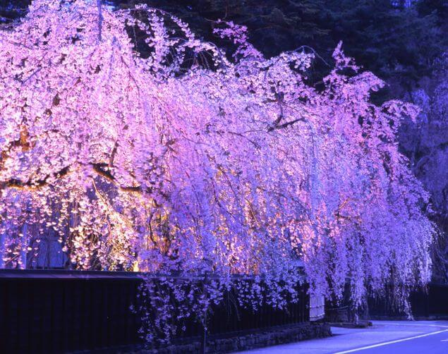 【最新情報】令和元年度版秋田の桜の名所5選再発見!
